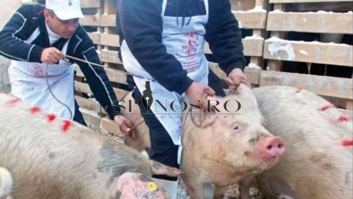 PPA la porcii domestici din Ivești